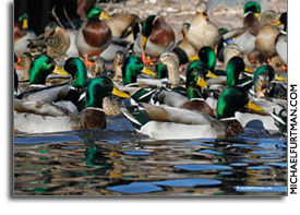 10 Ways to Contribute to Waterfowl Conservation