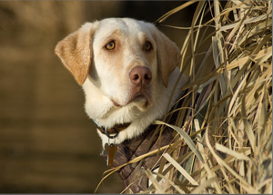 Waterfowl 360 Retriever Photo Contest Winner