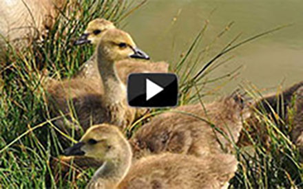 Prairie Nest Cam Project Returns to Coteau Ranch